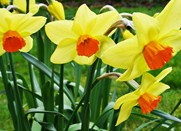 National flower of Wales - Beautiful Yellow Daffodils